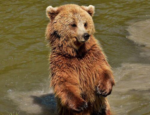 Monte Pelller, Torti: Valutiamo possibili soluzioni alternative all'abbattimento dell'orso procedendo con gradualità e metodo