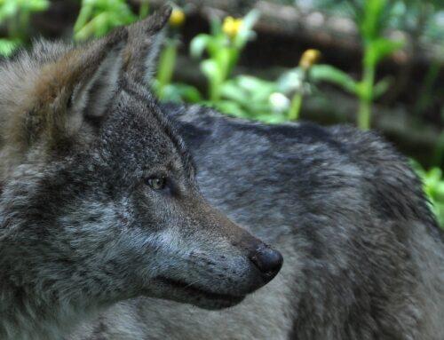 Primo monitoraggio del lupo su scala nazionale: il Cai si mette a disposizione